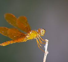 Mexican Amberwing by Chris Heising