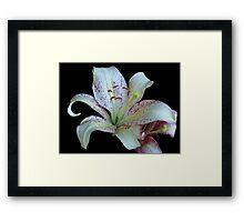 Pretty White Lily © Framed Print