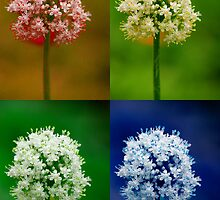 Four Colorful Onion Flowers by Bo Insogna