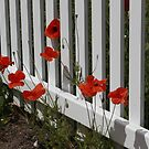 GLORIOUS POPPIES of Flanders Field by AnnDixon