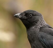 Jackdaw portrait by Peter Wiggerman