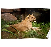 Smiling Lioness Poster