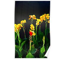 Bright & Beautiful Canna Lilies  Poster