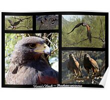 Harris's Hawk ~ Raptor Series Poster