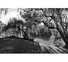 Willow Tree Sunshine Photographic Print