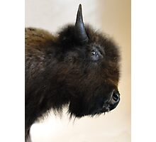 Prairie Bison Photographic Print