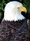 Eagle Portrait by Veronica Schultz