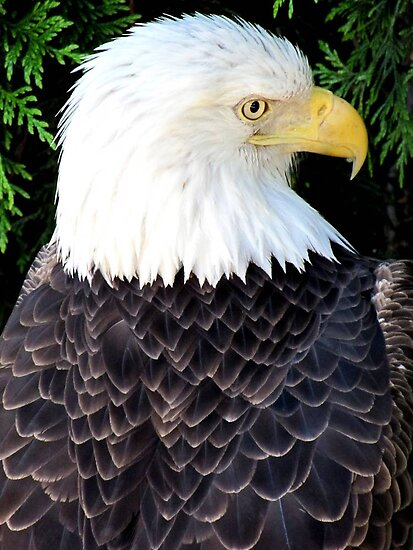 Eagle Portrait by Veronica Schultz