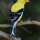American Goldfinch by okcandids