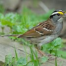 White-Throated Sparrow by okcandids