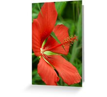 Texas Star(Hibiscus) Greeting Card