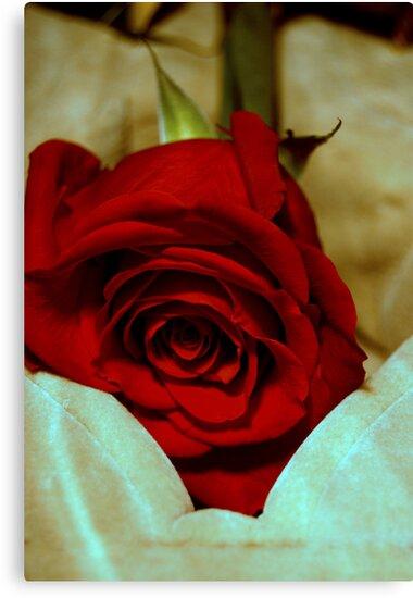 red rose in violin case © 2010 patricia vannucci  by PERUGINA
