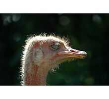 Ostrich - (Struthio camelus) Photographic Print