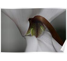 Cyclamen persicum Poster