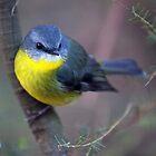 Eastern Yellow Robin by Travis Easton