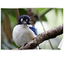 Forest Kingfisher Poster
