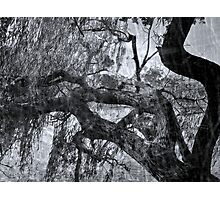 Old Willow Photographic Print