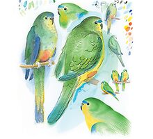Orange-bellied Parrot by Tim Squires
