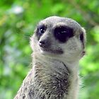 Meerkat by angeljootje