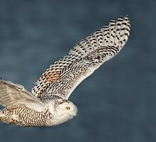 Snowy Owls  by Owl-Images