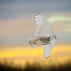 Sunset Snowy In Flight by Owl-Images