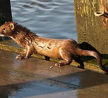 American Mink Swimming and Fishing by imagetj