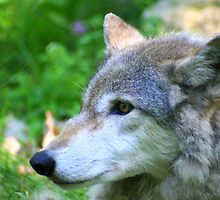 Timber wolf on alert by Laurel Talabere