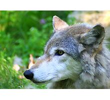Timber wolf on alert Photographic Print