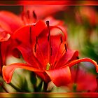 Red Lily by Kelvin Hughes