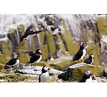 Puffin Party Photographic Print