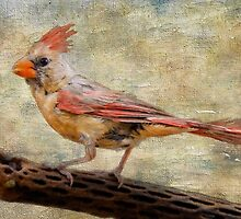 Female Cardinal by Barbara Manis