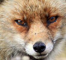 Fox_4896 by DutchLumix
