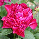 Vibrant Fuchsia Peony by Leslie van de Ligt