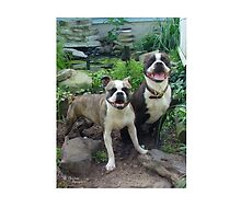 Smiling Boston Terriers by Christina Spiegeland