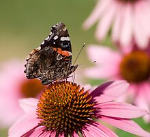Red Admiral by Jeff VanDyke