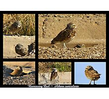 Burrowing Owl ~ Raptor Series Photographic Print