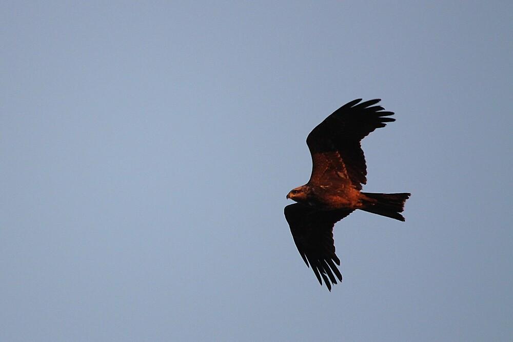 Black Kite by EnviroKey