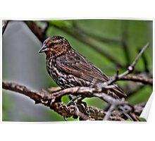 Female Blackbird Poster