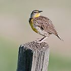 Western Meadowlark by Gary Lengyel