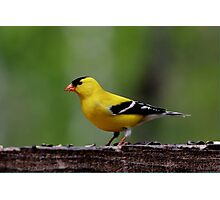 American Goldfinch (Male) Photographic Print
