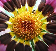 A macro of Gazania by rasim1