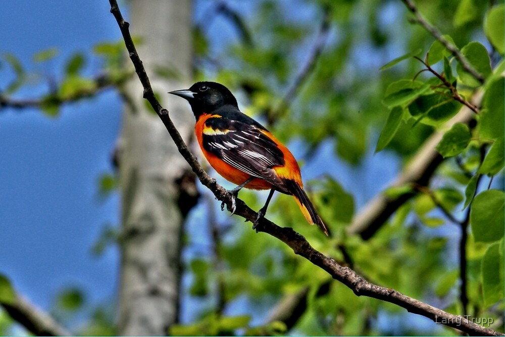Baltimore Oriole by Larry Trupp