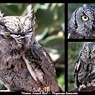Western Screech Owl ~ Raptor Series by Kimberly Chadwick