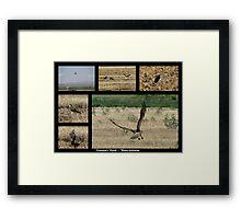 Swainson's Hawk ~ Raptor Series Framed Print