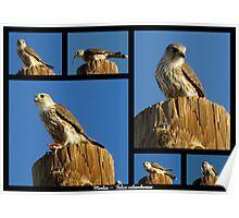 Merlin ~ Raptor Series Poster