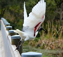Ibis at Warriewood wetlands by Doug Cliff