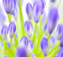 agapanthus - lily of the Nile by photodesigns