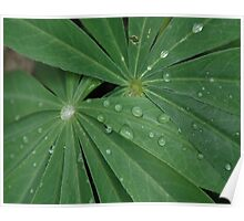 Lupine In The Rain Poster