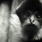 Gibbon by TomConger