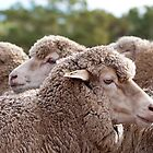 Sheep by Good-Thanks